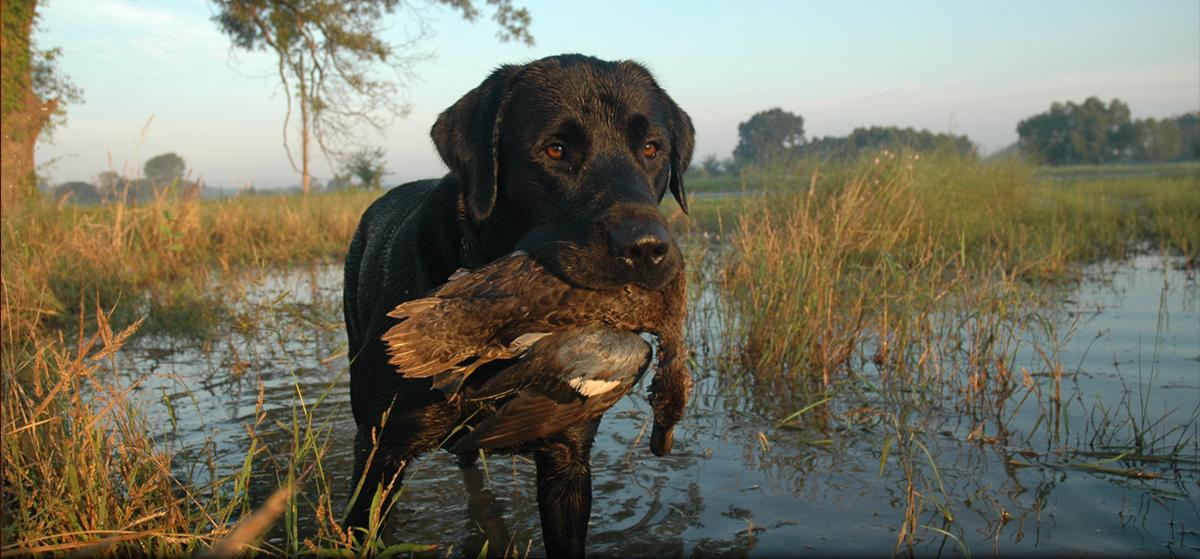Hunter Retrievers – North Carolina Labrador Retriever Breeder